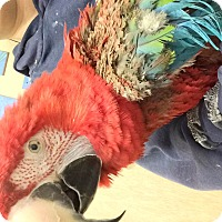 Adopt A Pet :: Pico - Woodbridge, NJ