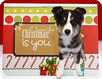 Husky/Australian Shepherd Mix Puppy for adoption in Kirkland, Washington - Cellie