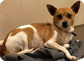 Chihuahua Dog for adoption in Berkeley, California - Jeepers
