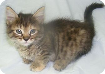 Domestic Shorthair Kitten for adoption in Olive Branch, Mississippi - Ariel