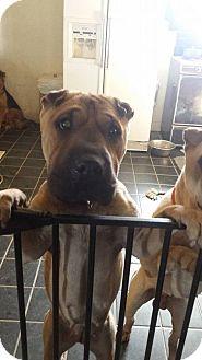Shar Pei Dog for adoption in Apple Valley, California - Mia - pending
