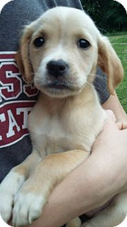 Golden Retriever/Terrier (Unknown Type, Medium) Mix Puppy for adoption in Kittery, Maine - Abby