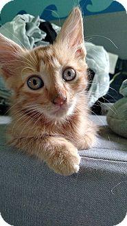 Domestic Mediumhair Kitten for adoption in Tampa, Florida - Chunk