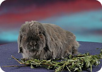 Lop, Holland Mix for adoption in Marietta, Georgia - Spice