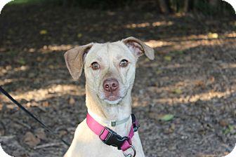 Beagle/Terrier (Unknown Type, Medium) Mix Dog for adoption in Danville, Illinois - SALLY