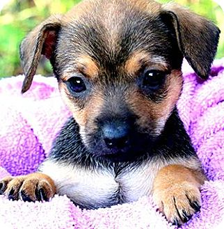 Dachshund/Beagle Mix Puppy for adoption in Wakefield, Rhode Island - CUDDLES(TINY DOXLE LITTLE GIRL
