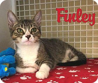 Domestic Shorthair Kitten for adoption in Sherman Oaks, California - Finley
