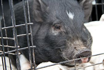 Pig (Potbellied) for adoption in Marietta, Ohio - Notta (Neutered)