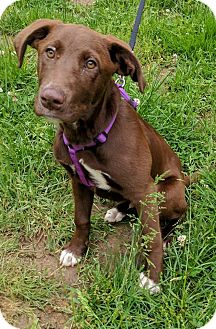 Labrador Retriever/Pointer Mix Puppy for adoption in Goodlettsville, Tennessee - Chaco