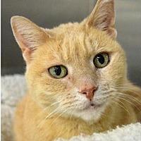 Adopt A Pet :: Brock - Herndon, VA