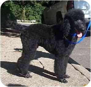 Poodle (Standard) Puppy for adoption in Naugatuck, Connecticut - Joseph