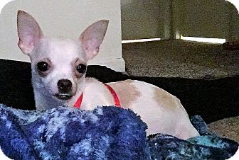 Chihuahua Dog for adoption in Indianapolis, Indiana - Myla