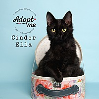 Domestic Longhair Kitten for adoption in Pearland, Texas - Cinder Ella