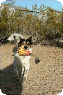 Jack Russell Terrier/Fox Terrier (Wirehaired) Mix Dog for adoption in Thatcher, Arizona - Rover