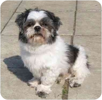 Shih Tzu Mix Dog for adoption in Ile-Perrot, Quebec - Mickey