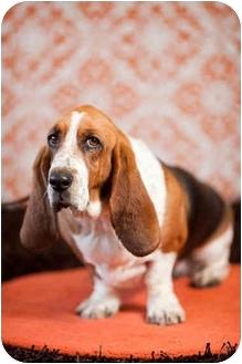Basset Hound Dog for adoption in Portland, Oregon - Heidi