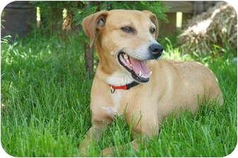 Labrador Retriever Mix Dog for adoption in Xenia, Ohio - Honey