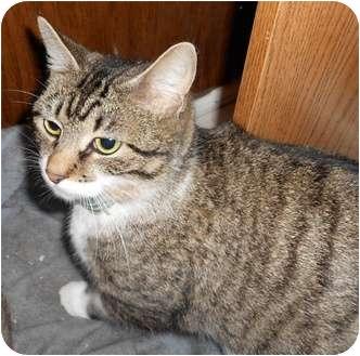 Domestic Shorthair Kitten for adoption in Jacksonville, North Carolina - Serena