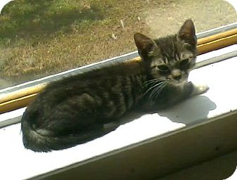 Domestic Shorthair Kitten for adoption in Columbia, South Carolina - H.L.