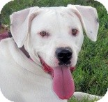 Dalmatian Mix Dog for adoption in Turlock, California - Betsie