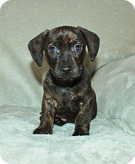 Dachshund Mix Puppy for adoption in West Milford, New Jersey - DRUMMER