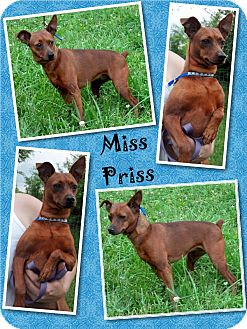 Chihuahua/Dachshund Mix Dog for adoption in Delaware, Ohio - Miss Priss