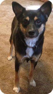 Shiba Inu Mix Dog for adoption in Longview, Texas - Shiba