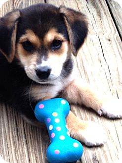Beagle Mix Puppy for adoption in Richmond, Virginia - Daphne