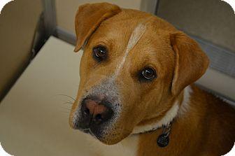 Basset Hound/Shar Pei Mix Dog for adoption in Naperville, Illinois - Sampson