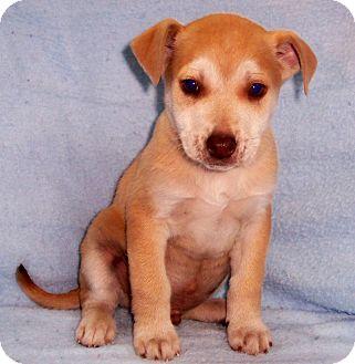 Terrier (Unknown Type, Medium)/Labrador Retriever Mix Puppy for adoption in Byrdstown, Tennessee - Chase