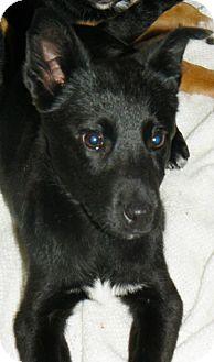 German Shepherd Dog Mix Puppy for adoption in New Oxford, Pennsylvania - Reggie
