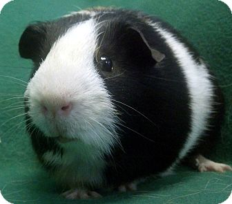 Guinea Pig for adoption in Lewisville, Texas - Boogly