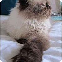 Adopt A Pet :: Josephine - Beverly Hills, CA