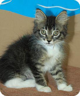 Domestic Shorthair Kitten for adoption in Bradenton, Florida - E.T.