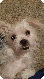 Shih Tzu/Terrier (Unknown Type, Small) Mix Dog for adoption in Miami, Oklahoma - Maxi