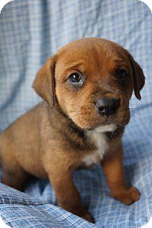 Boxer/Australian Shepherd Mix Puppy for adoption in Newark, Delaware - Harlei