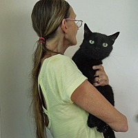 American Shorthair Cat for adoption in Makawao, Hawaii - ALL BLACK CATS