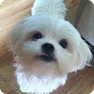 Maltese/Pekingese Mix Puppy for adoption in Homer, New York - Riley