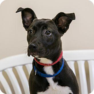 Retriever (Unknown Type)/Terrier (Unknown Type, Medium) Mix Puppy for adoption in Staunton, Virginia - Diamond