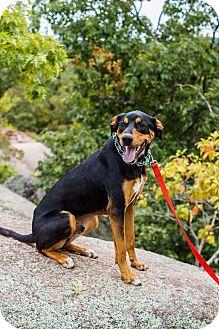 Doberman Pinscher Mix Dog for adoption in ST LOUIS, Missouri - Parker
