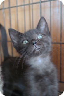 Domestic Shorthair Kitten for adoption in San Pablo, California - BABY KITTEN 4