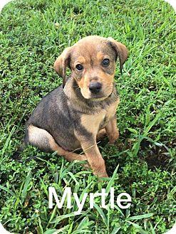 Shepherd (Unknown Type)/Spaniel (Unknown Type) Mix Puppy for adoption in Olive Branch, Mississippi - Myrtle - Byhalia Pup