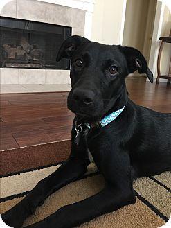 Labrador Retriever/Retriever (Unknown Type) Mix Dog for adoption in Redmond, Washington - Kinzie