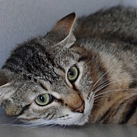 Domestic Shorthair Cat for adoption in Des Moines, Iowa - Lucy
