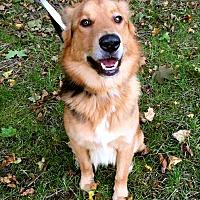 Shepherd (Unknown Type)/Collie Mix Dog for adoption in Detroit, Michigan - Harley Davidson