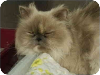 Himalayan Cat for adoption in Mason City, Iowa - Justice