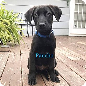 Labrador Retriever Mix Puppy for adoption in Austin, Texas - Puppy Pancho