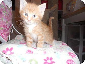 Domestic Shorthair Kitten for adoption in Tehachapi, California - Rusty