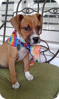 Boxer/Labrador Retriever Mix Puppy for adoption in Santa Ana, California - Rebecca
