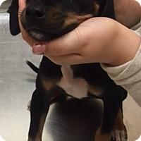 Miniature Pinscher Mix Puppy for adoption in Pearland, Texas - Bo Derek